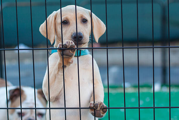 baby yellow labrador retriever - playpen stock pictures, royalty-free photos & images