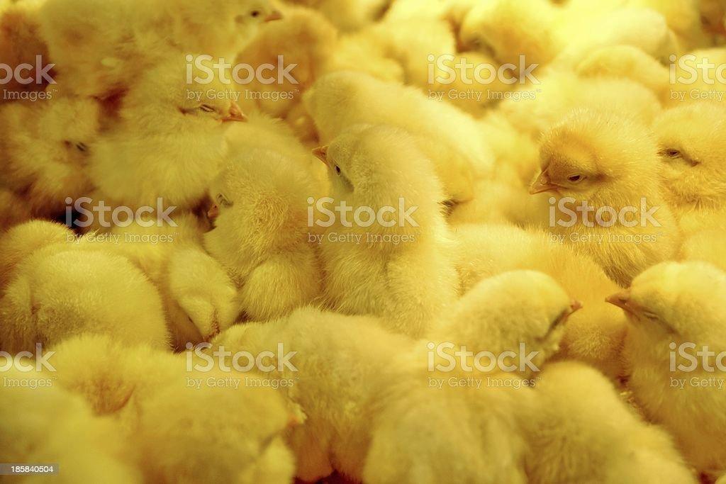 Baby Yellow Newborn Little Chics Background XXXL royalty-free stock photo