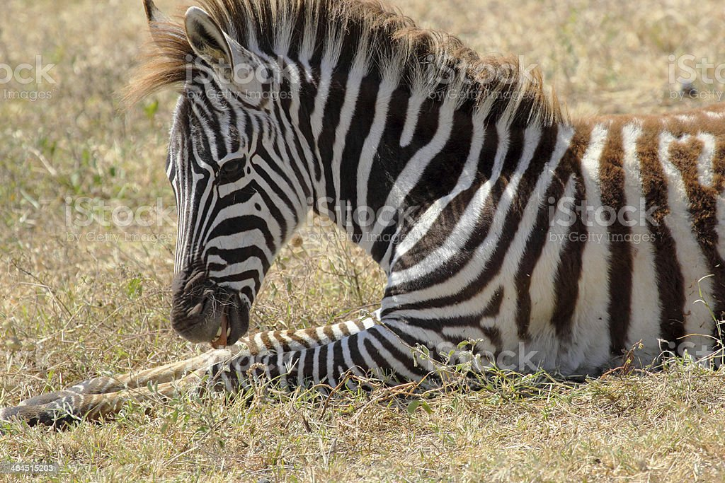 Baby zebra lying royalty-free stock photo