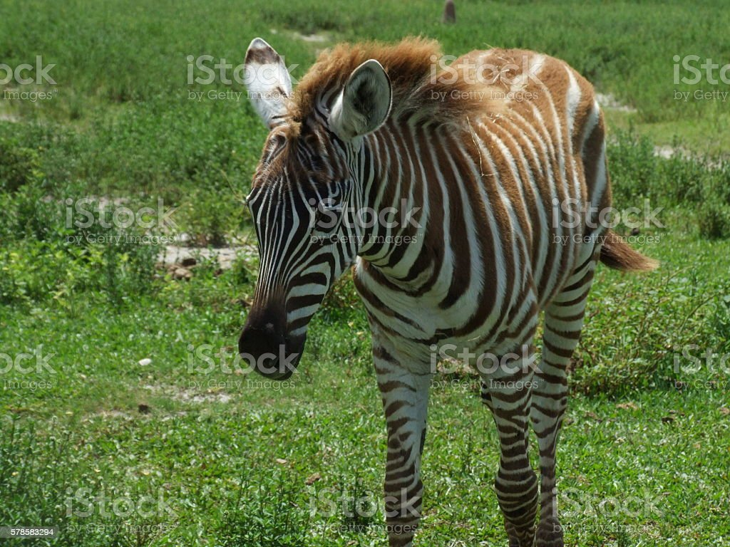 baby zebra stock photo