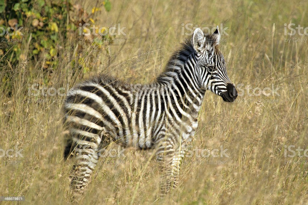 Baby zebra standing royalty-free stock photo