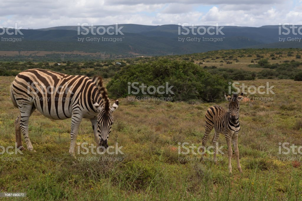 Baby zebra staying close to its mother on the savannah of Addo Elephant Park stock photo