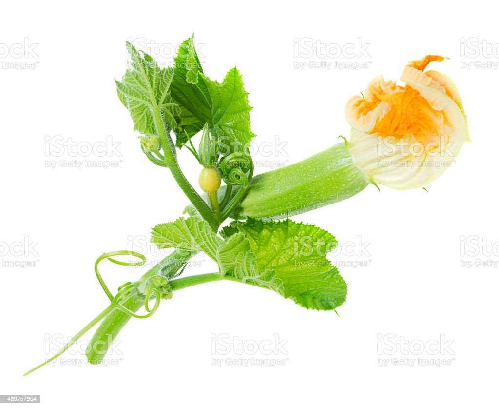 Baby zucchini with flower isolated stock photo