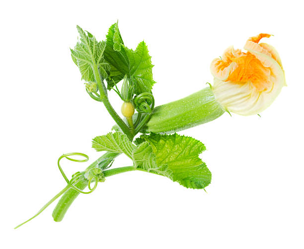 baby zucchini mit blume isoliert - gefüllte zucchini vegetarisch stock-fotos und bilder