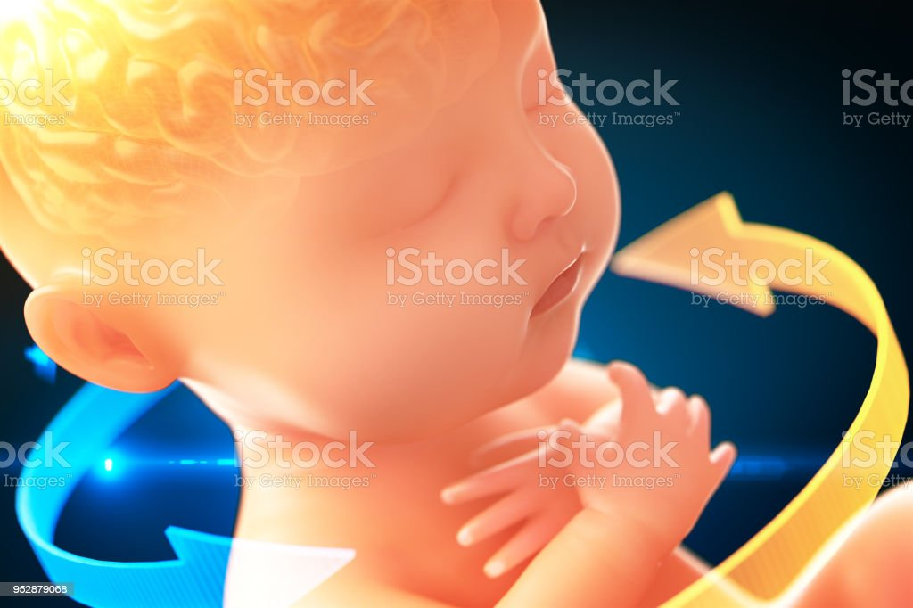 Babys brain and nervous system,3d rendering fetus with brain x-ray inside, 3d illustration. stock photo