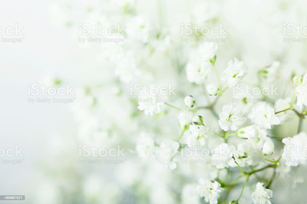 Baby's Breath Flowers Background stock photo