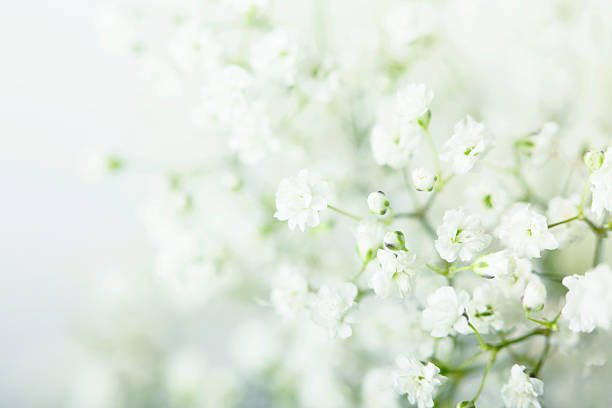 Baby's Breath Flowers Background stock photo