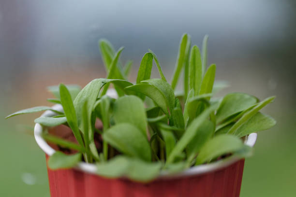 Bachelor Button Seedlings in Red plastic cup with copy space stock photo