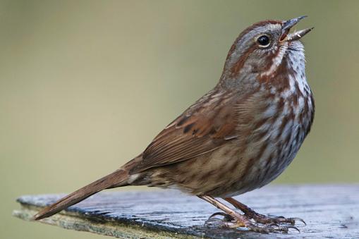Bachman's Sparrow feeding from a feeder.