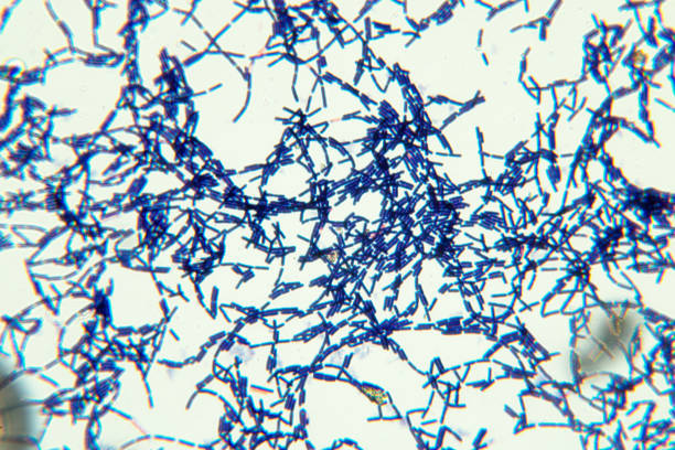 bacillus is a genus of gram-positive, rod-shaped bacteria and a member of the phylum firmicutes. - antrace foto e immagini stock