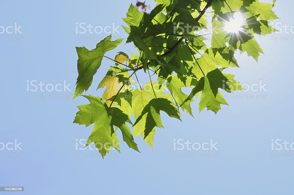 Back Lighting on Maple Leaves royalty-free stock photo