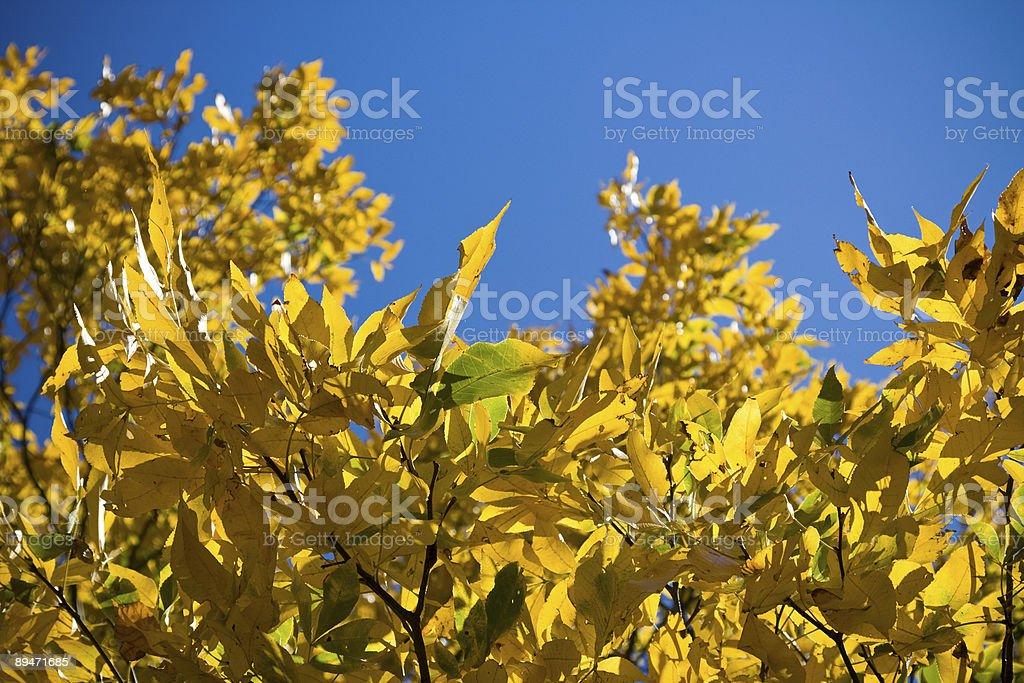 Back Lit Autumn Elm royalty-free stock photo