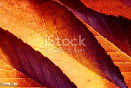 Beautiful back lit autumn leaves background