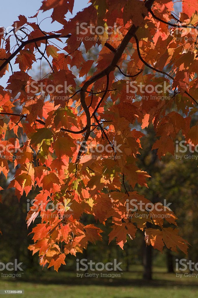 Back Lit Autumn Leaves royalty-free stock photo