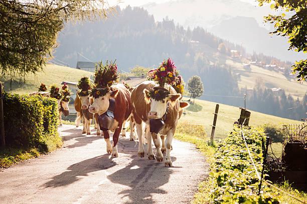 Gegenlicht, die Kühe auf Schweizer Alpen Road – Foto