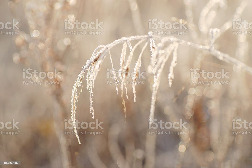 Back lit frost covered grasses. royalty-free stock photo