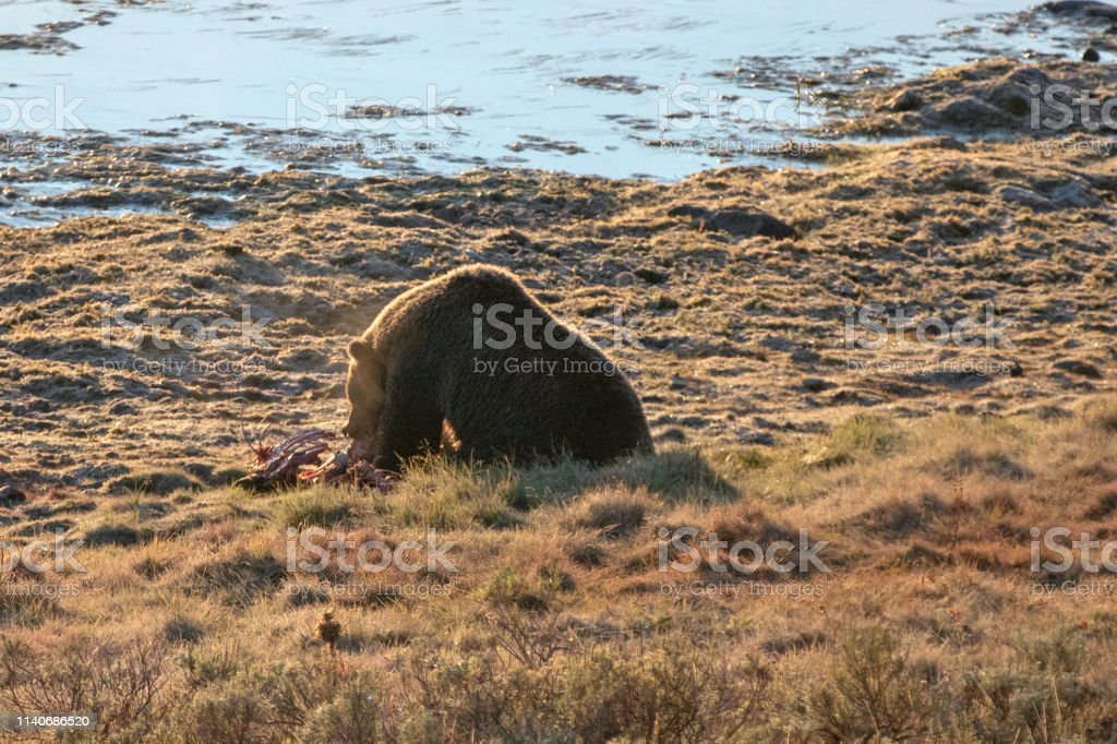 Back lit Grizzly bear feeding on elk calf carcass by Yellowstone...