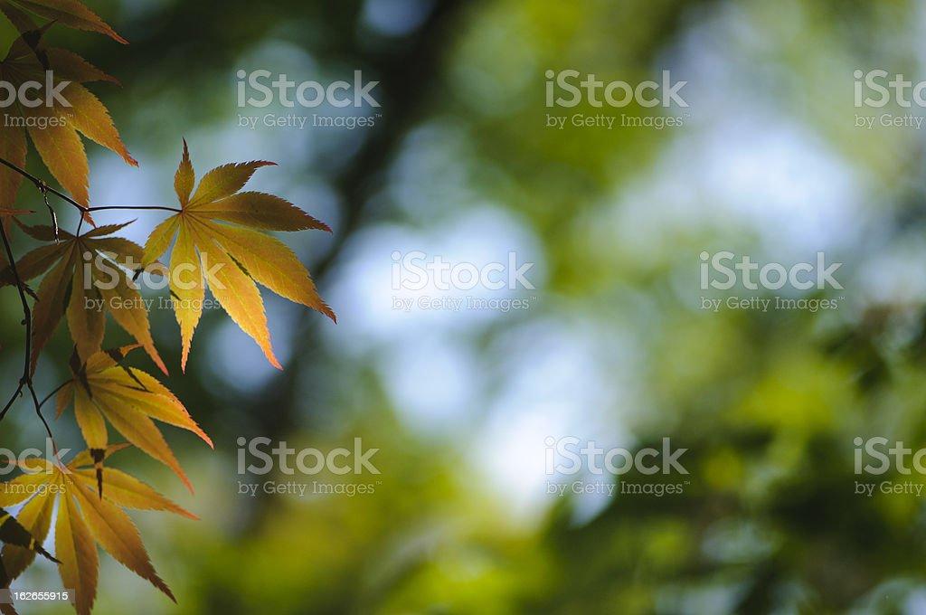 Back lit Japanese maple leaves royalty-free stock photo