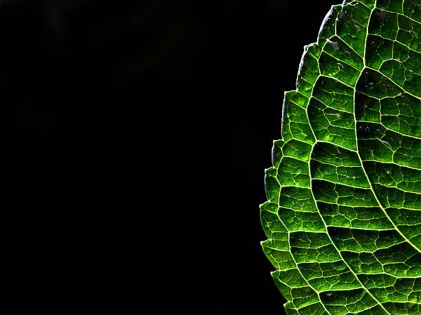 Back lit leaf stock photo