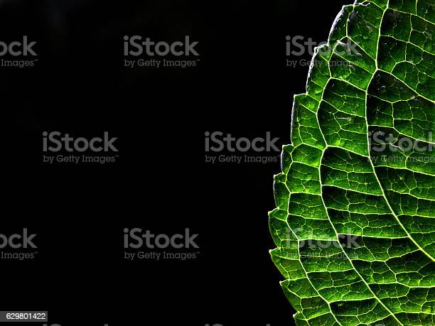 Photo of Back lit leaf