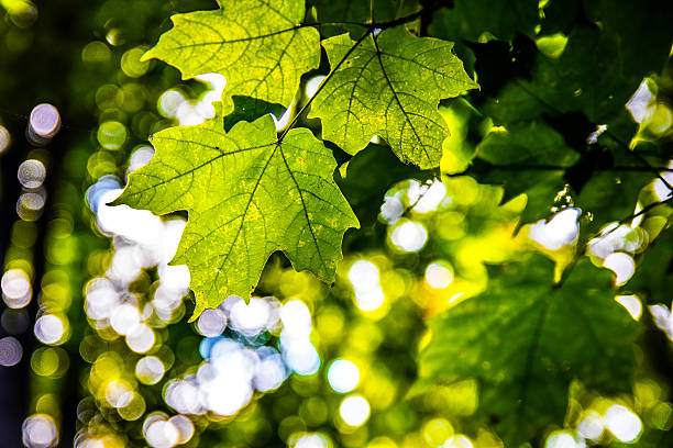 Back lit maple leaf stock photo