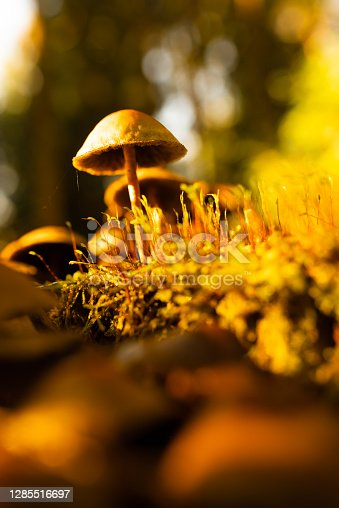 Back lit mushroom on the forest floor. Vertical photo with selective focus. Forest theme