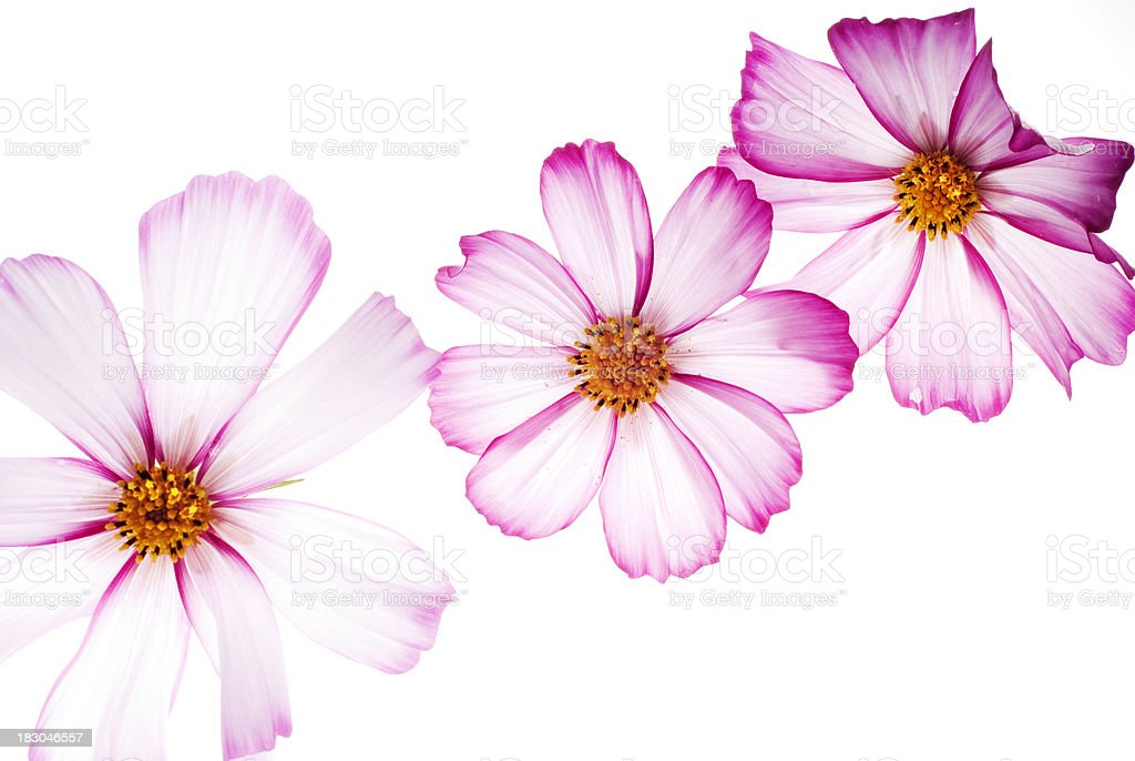 Back lit pink cosmos flowers stock photo