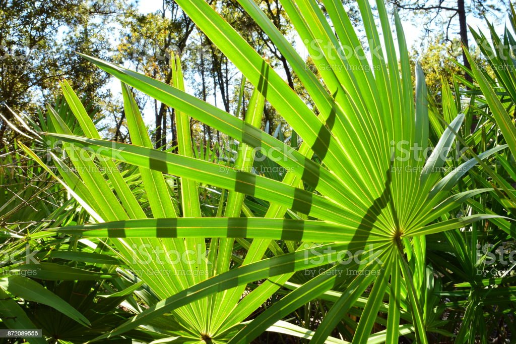 Back lit Saw Palmetto fronds with shadows stock photo