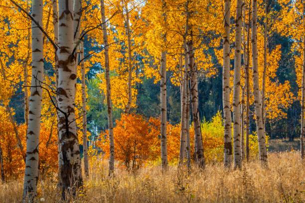 Terug verlicht wit blafte tril Aspen bomen foto