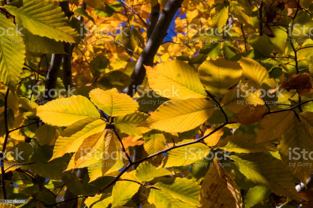 Back lit yellow fall leaves still on the tree branches. stock photo