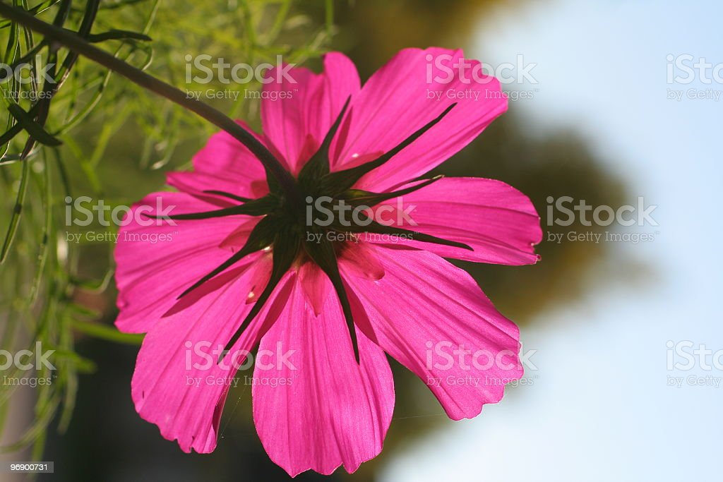 Back lite Cosmos Flower royalty-free stock photo