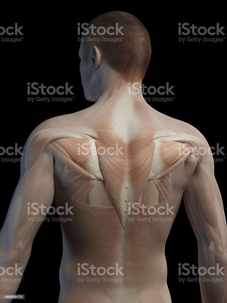 Músculos Traseros - Fotografía de stock y más imágenes de Anatomía ...