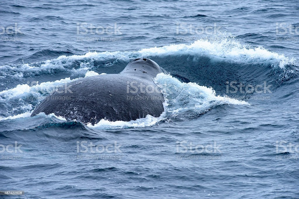 Back of a large bowhead whale in the Greenland Sea. stock photo