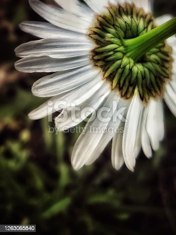 Backside of a white Oxeye Daisy with a green stem and dark green foliage in the background. Slight softening added to the image.