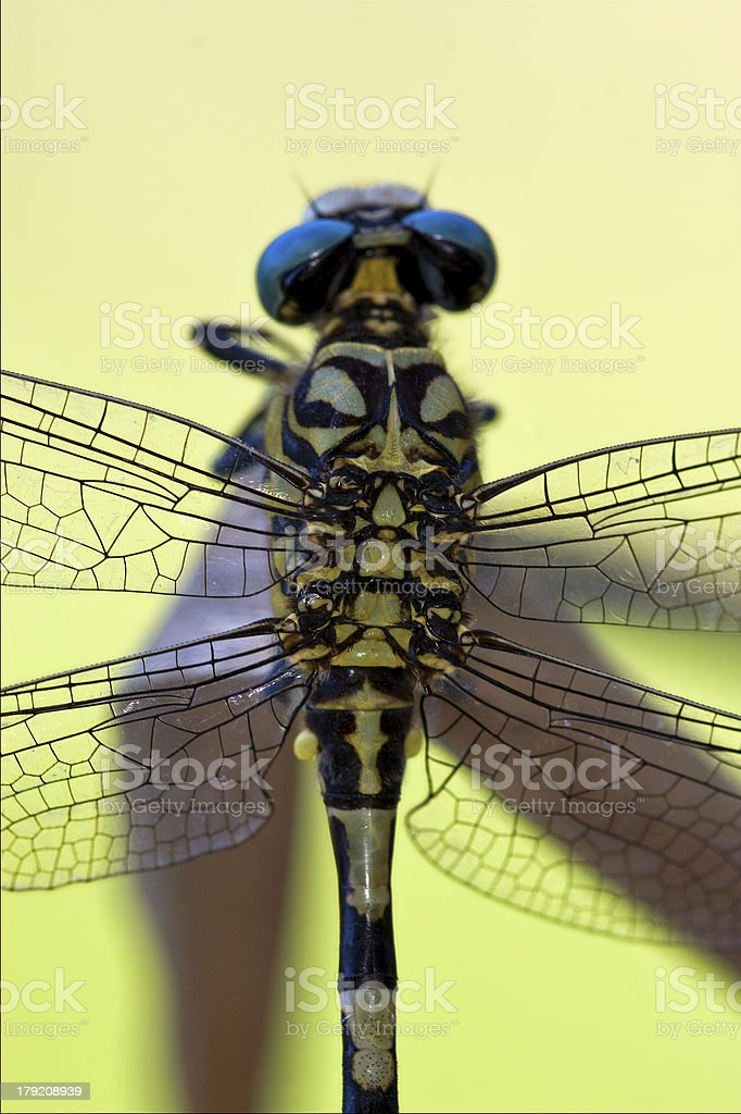 back of   anax imperator stock photo