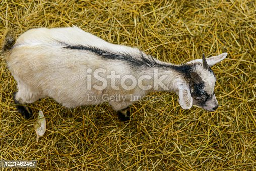 back of goat at petting zoo