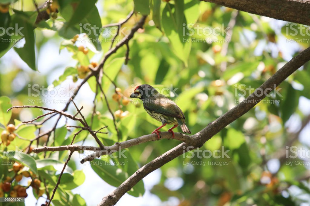 Back of Golden throated barbet small bird colorful animal wildlife...