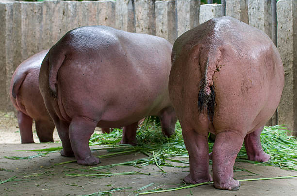 back of hippopoamuses - hippo tail stock photos and pictures