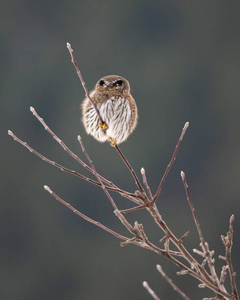 Back of pygmy owl stock photo