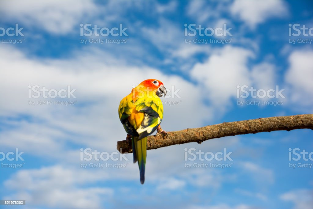 Back of Sun Conure parrot on dried tree branch with blue sky background stock photo