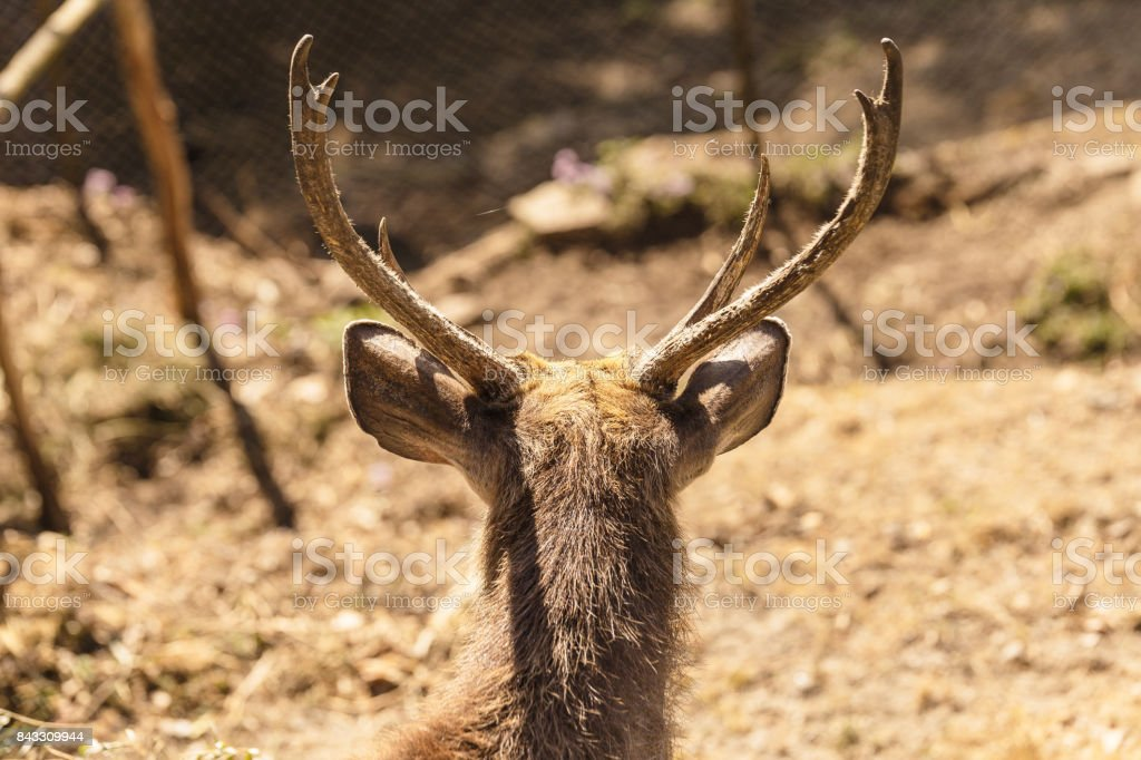 Back of the horn of the Sambar deer stock photo