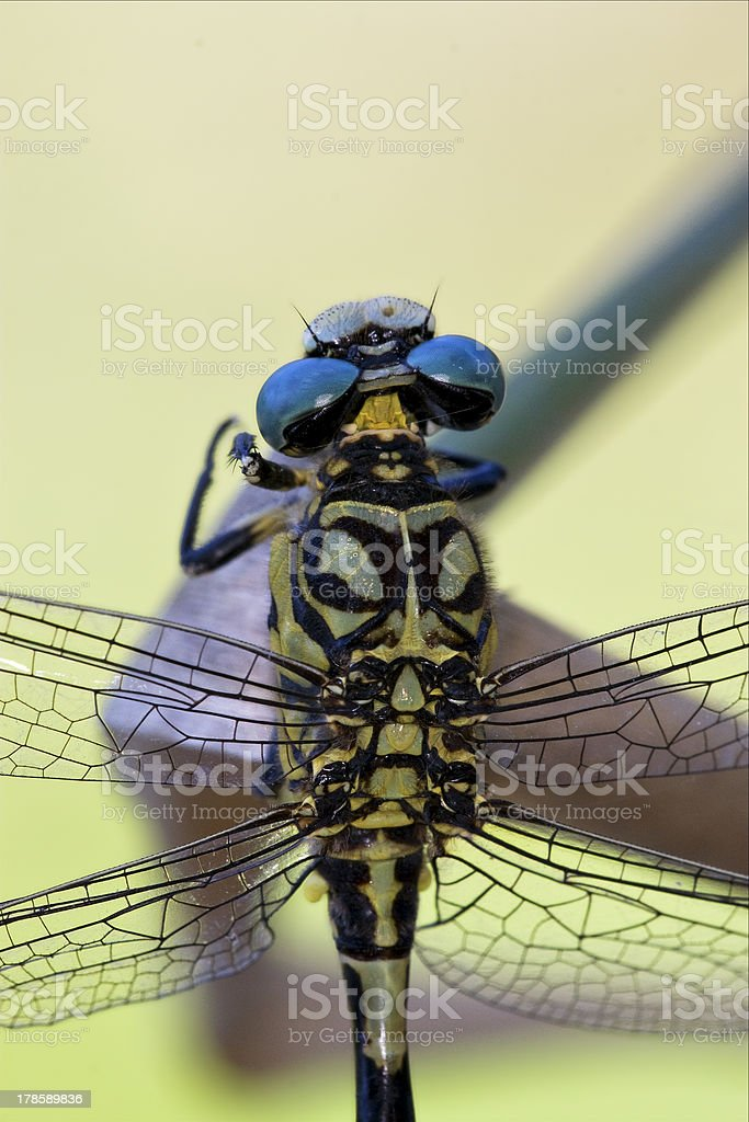 back of wild black yellow dragonfly stock photo