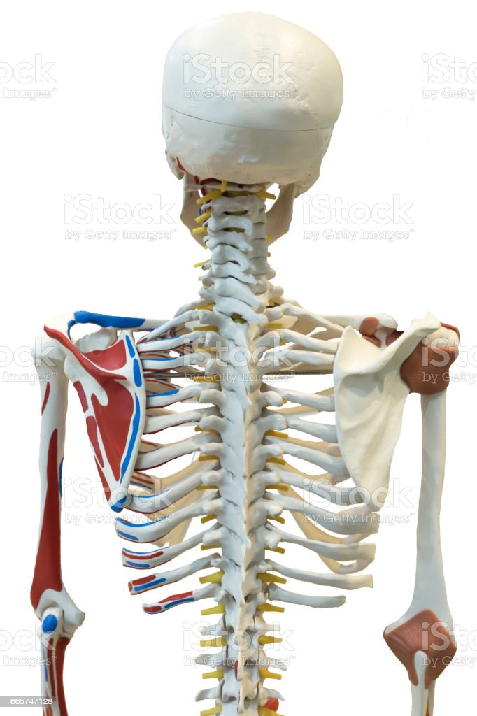 Back Rib Cage Of A Skeleton Isolated On White Background With