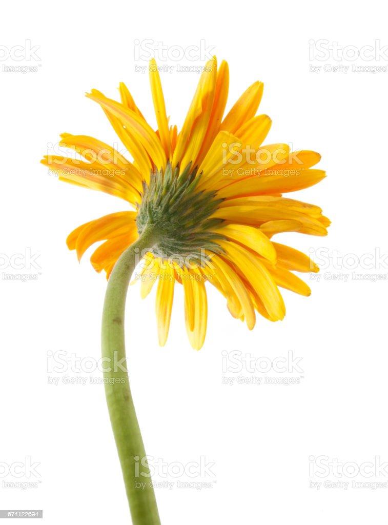 back single gerbera  flower yellow isolated on white background royalty-free stock photo