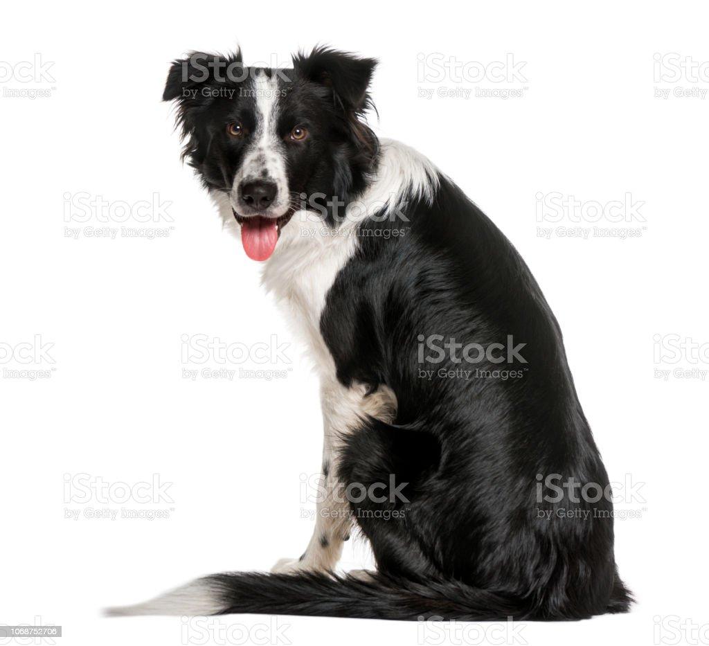 vista de um Border Collie preto e branco, olhando para a câmera traseira - foto de acervo