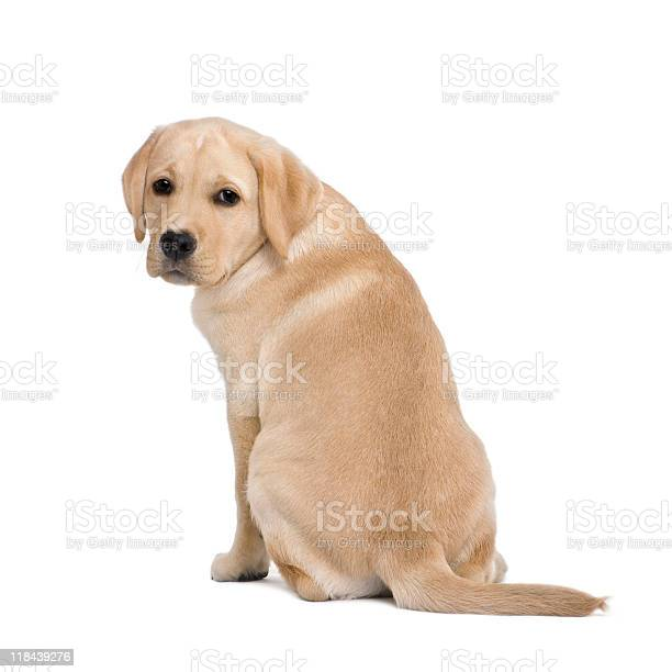 Back view of a cream labrador puppy against white background picture id118439276?b=1&k=6&m=118439276&s=612x612&h=fa9mpebm oauunsct3ryyaxhzpth9oaf8nqis4dlsui=