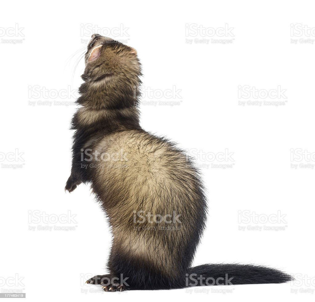 Back view of a Ferret on hind leg, looking up royalty-free stock photo