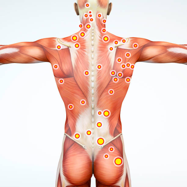 back view of a man and his trigger points. anatomy muscles. 3d rendering - physical therapy стоковые фото и изображения
