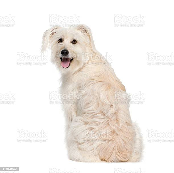 Back view of a pyrenean shepherd against white background picture id118448479?b=1&k=6&m=118448479&s=612x612&h=uhr7hevebkbzkpsbqgbk09htpyolkfue2 gaspfkra4=