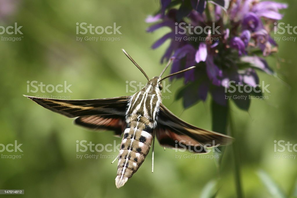 Back View of a Sphinx Moth stock photo